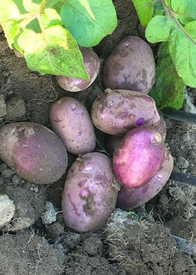 Potatoes Purple Passion New season