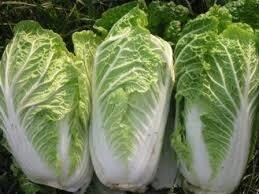 Cabbage Chinese (Napa cabbage)